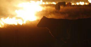 kansas fire cow